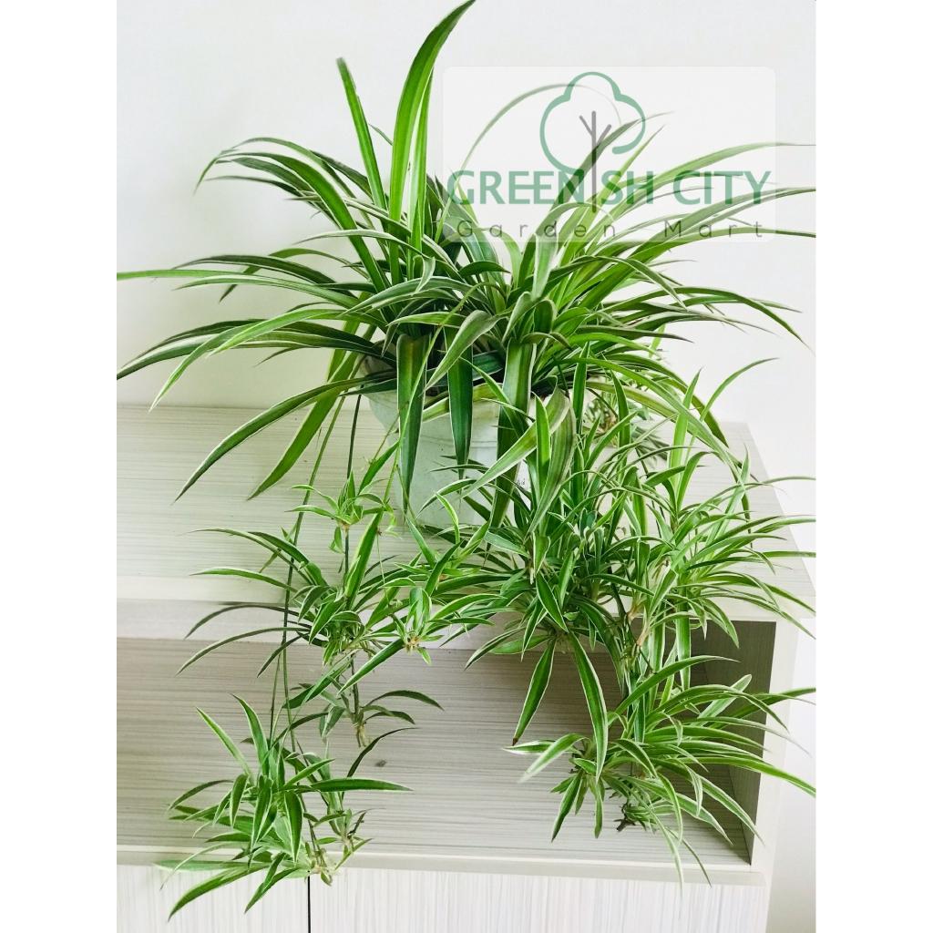 Sansevieria Plant Feng Shui gnc - home garden live plant chlorophytum spider fern feng shui pokok  gantung 吊兰