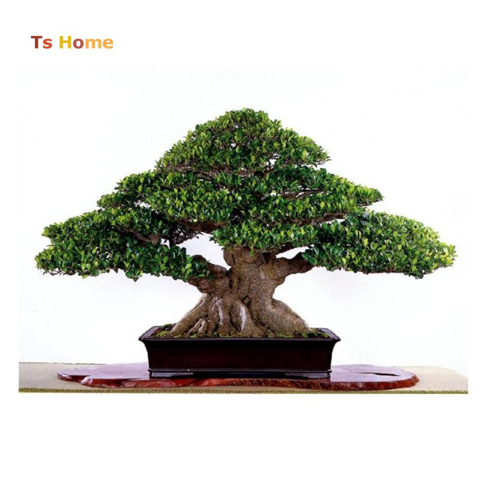 50pcs Chinese Ficus Tree Seeds Roots Bonsai Banyan Garden Outdoor Woody Plant