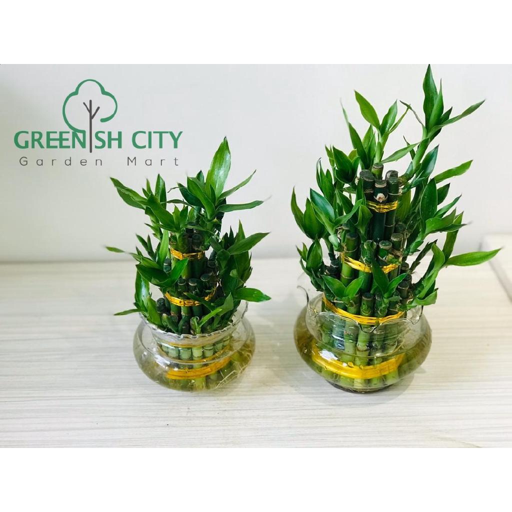 Sansevieria Plant Feng Shui gnc - lucky tower bamboo live plant pokok indoor fengshui hiasan
