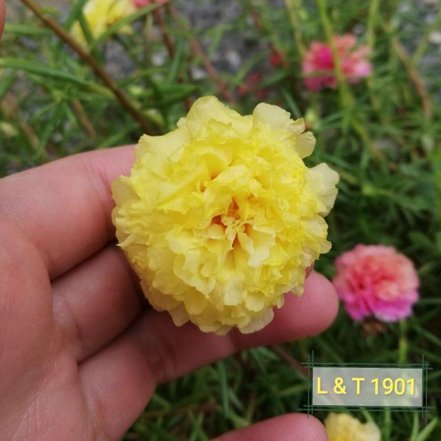 Rose Jepun -   太阳花  九点花