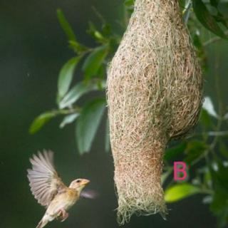 Sarang Burung Tempua Manyar Weaverbirds Shopee Malaysia