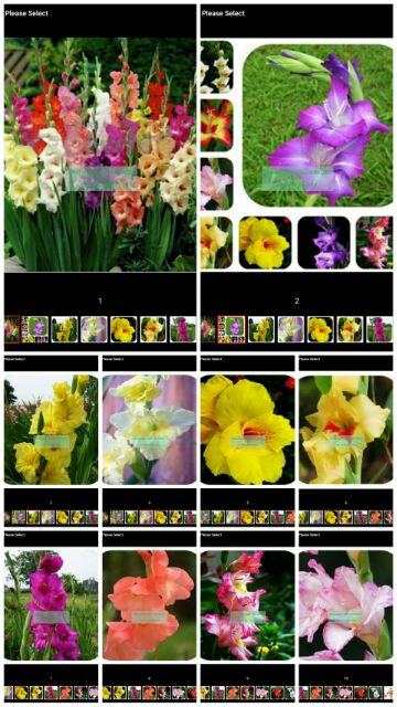 Red With Yellow Gladiolus Seeds Flower Perennial Garden Bonsai Plants 120PCS