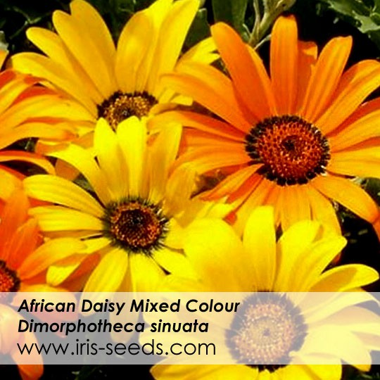 African Daisy Mixed Colors 100 Seeds