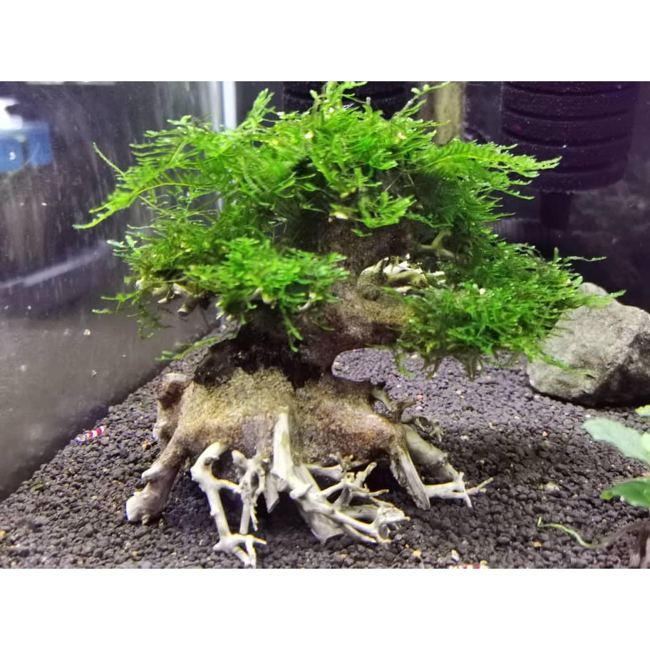 Bonsai Tree Aquarium Moss Aquascape Nano Size With Moss Shopee Malaysia