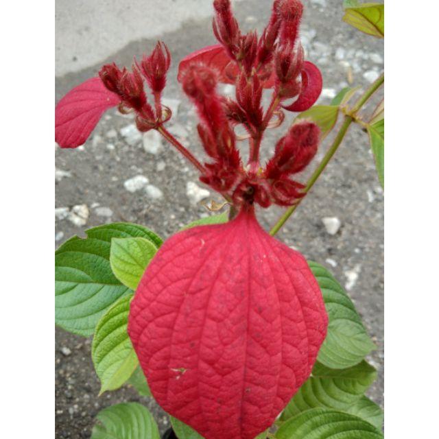 Janda Kaya Bunga Merah Pokok Hidip Shopee Malaysia