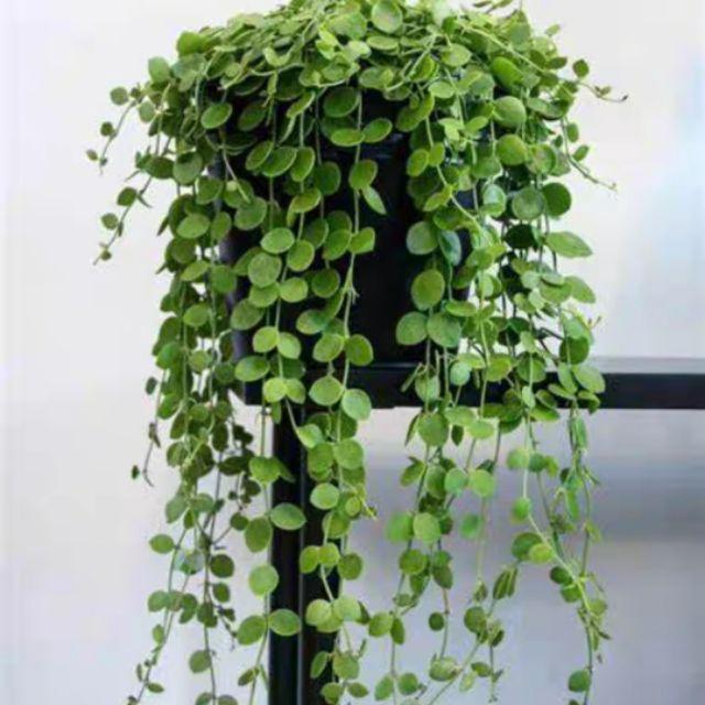 Long Leaves Eucalyptus with 5 branches 100cm / Daun Jurai Eucalyptus 5 Dahan 100cm [FL095]