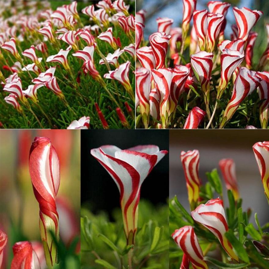 100Pcs Rare Colorful Tulip Seeds Flower Home Garden Plant Bonsai Decor Sightly