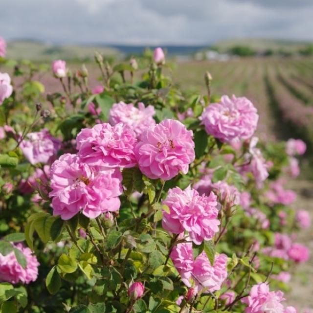 土耳其珍宝Gülsha古爾莎【大马士革】玫瑰纯露Rosewater Rose Hydrosol ...