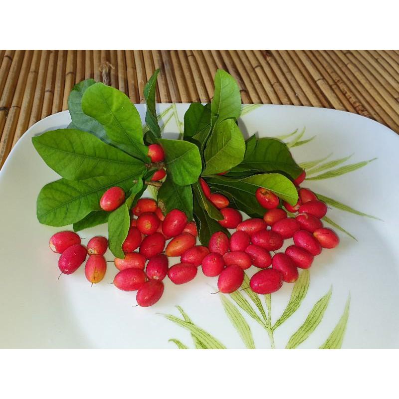 anak pokok buah ajaib*miracle berry plant