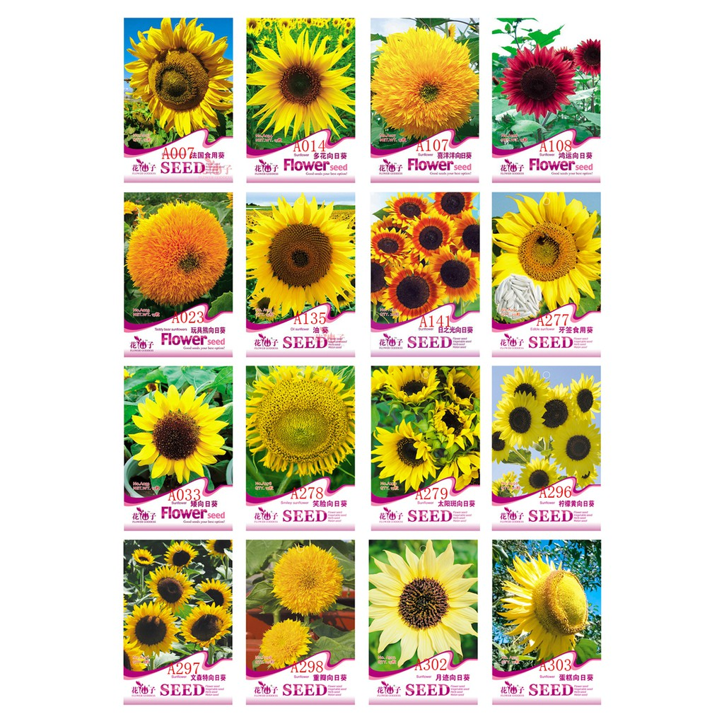 Glamaours 50pcs Purple Rare Sunflower Mixed Seeds Bonsai Charming Potted Annuus Helianthus Garden Flower Plant for Home Garden Planting