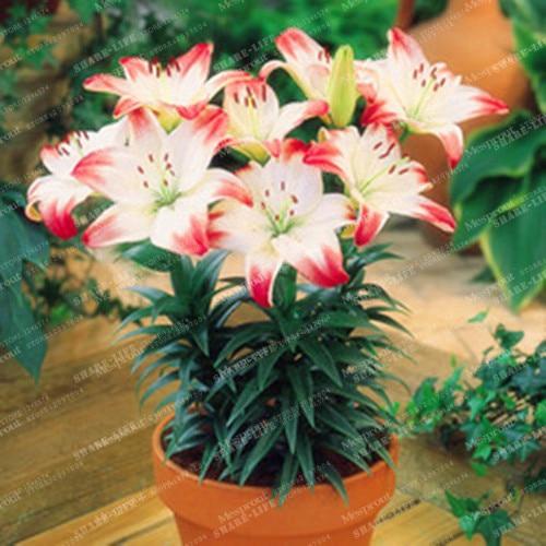 Zantedeschia Calla Lily Bulbs Perennial Orange Flower Organic Resistant Bonsai