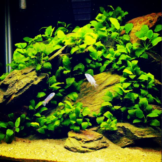 Aquarium Plant Anubias Nana And Anubias Golden Shopee Malaysia