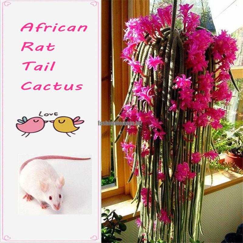 100 Pcs African Rat Tail Cactus Seeds cacti Succulents Plan