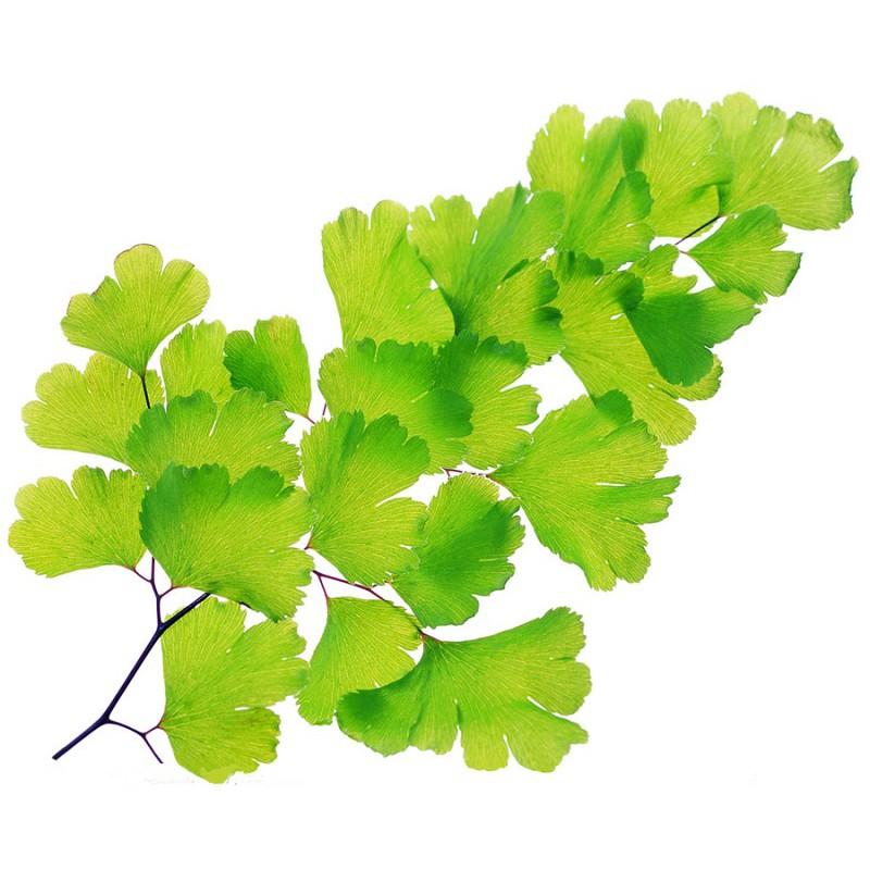 Ginkgo Biloba Leaf Tea:Activate Blood Circulation 银杏叶茶:活血