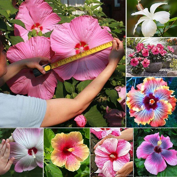 60 pcs Red Hibiscus Rose Seeds Plant Flower Seed Beautiful Bright Flower Seeds