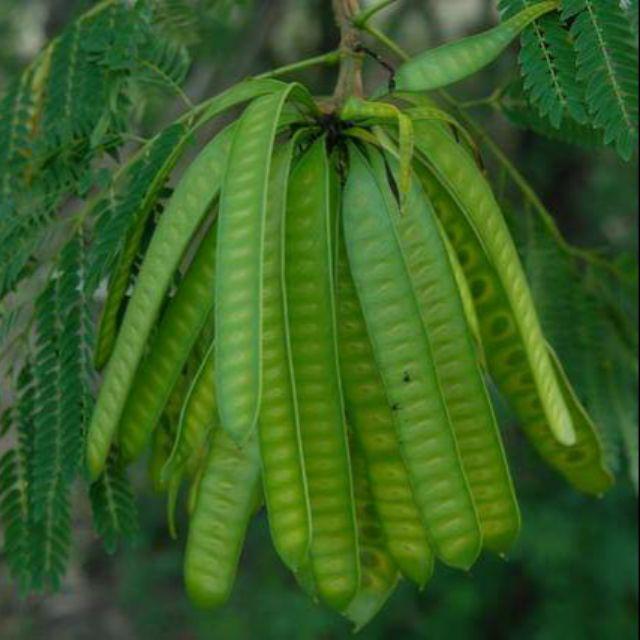Petai Belalang Leucaena Leucocephala Shopee Malaysia