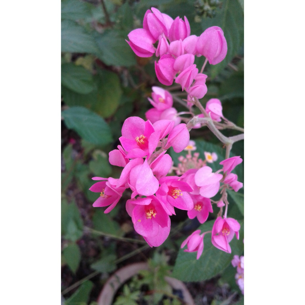 Pink Coral Vine Bunga Air Mata Pengantin