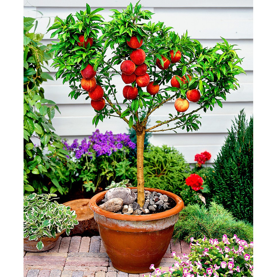 10pcs Peach Tree Seeds Sweet Delicious Fruit Bonsai Seeds Dwarf Peach Tree WST