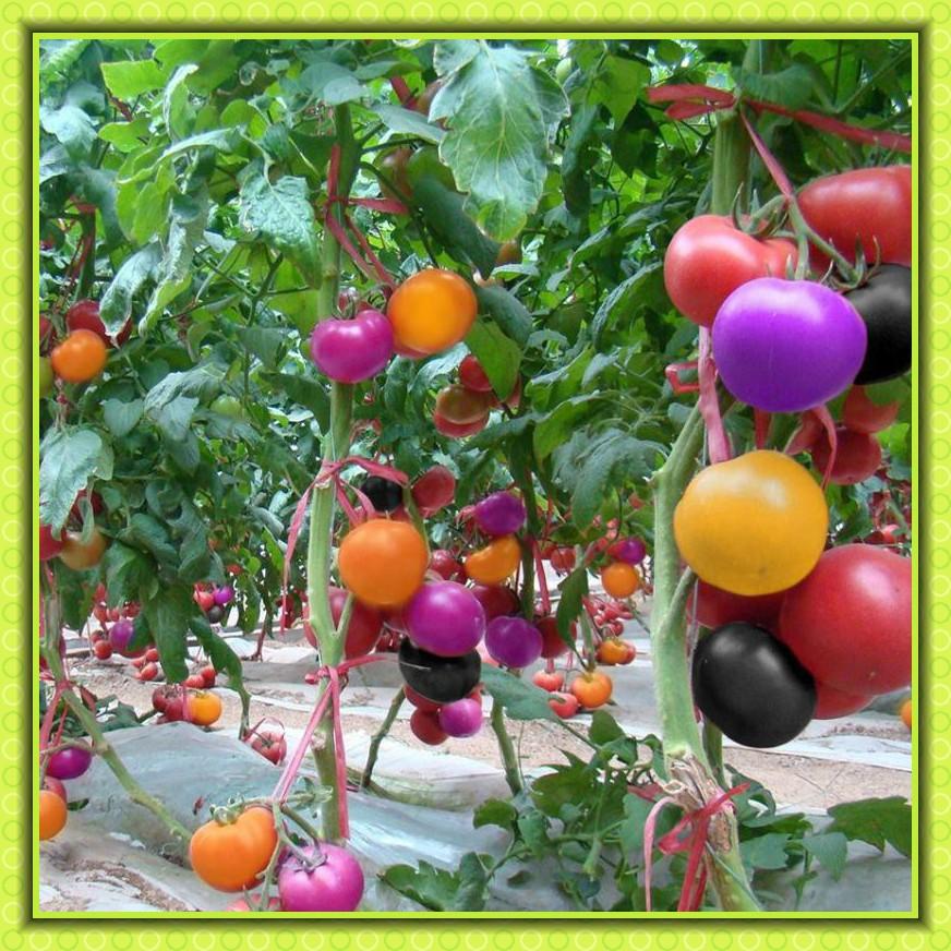 100Pcs Rainbow Tomato Seeds Bonsai Fresh Green Vegetables Seed Home Garden