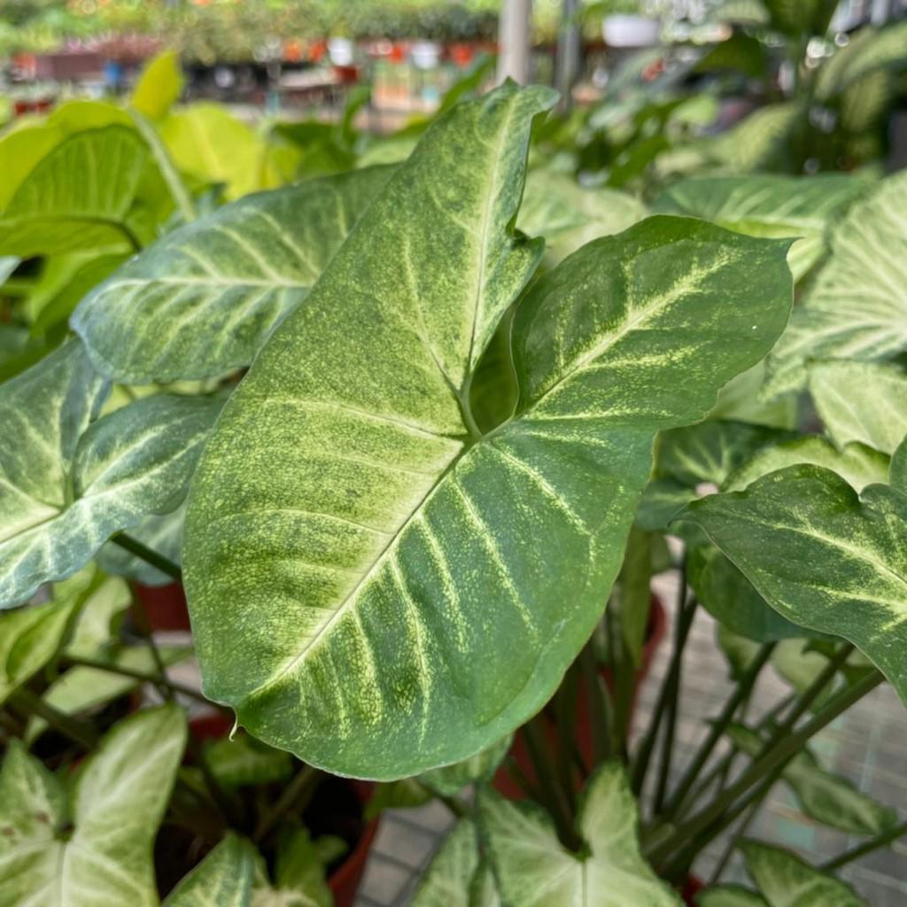 [IGL] Syngonium series / Live Plant / Indoor Plant [READYSTOCK]