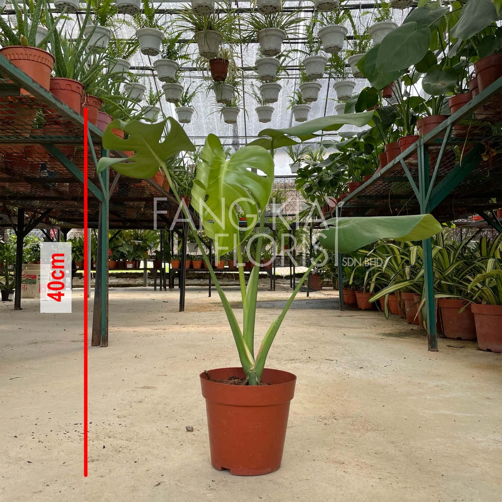 [IGL] Monstera deliciosa / indoor plant / live plant