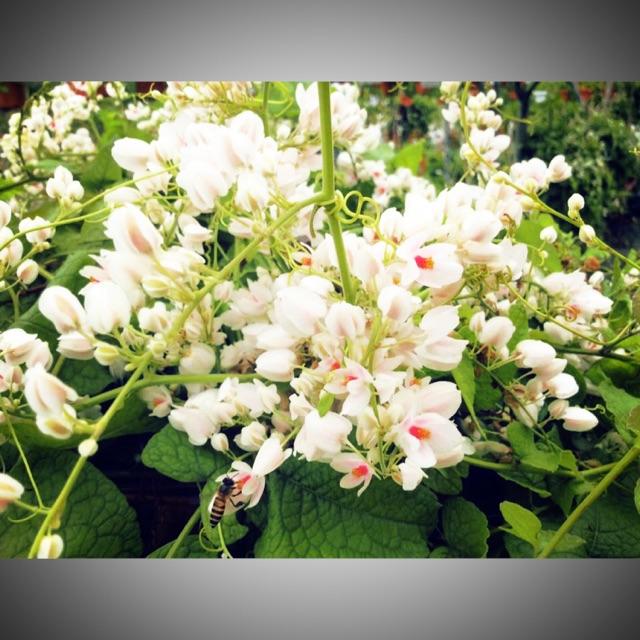 Anak Pokok Bunga Air Mata Pengantin