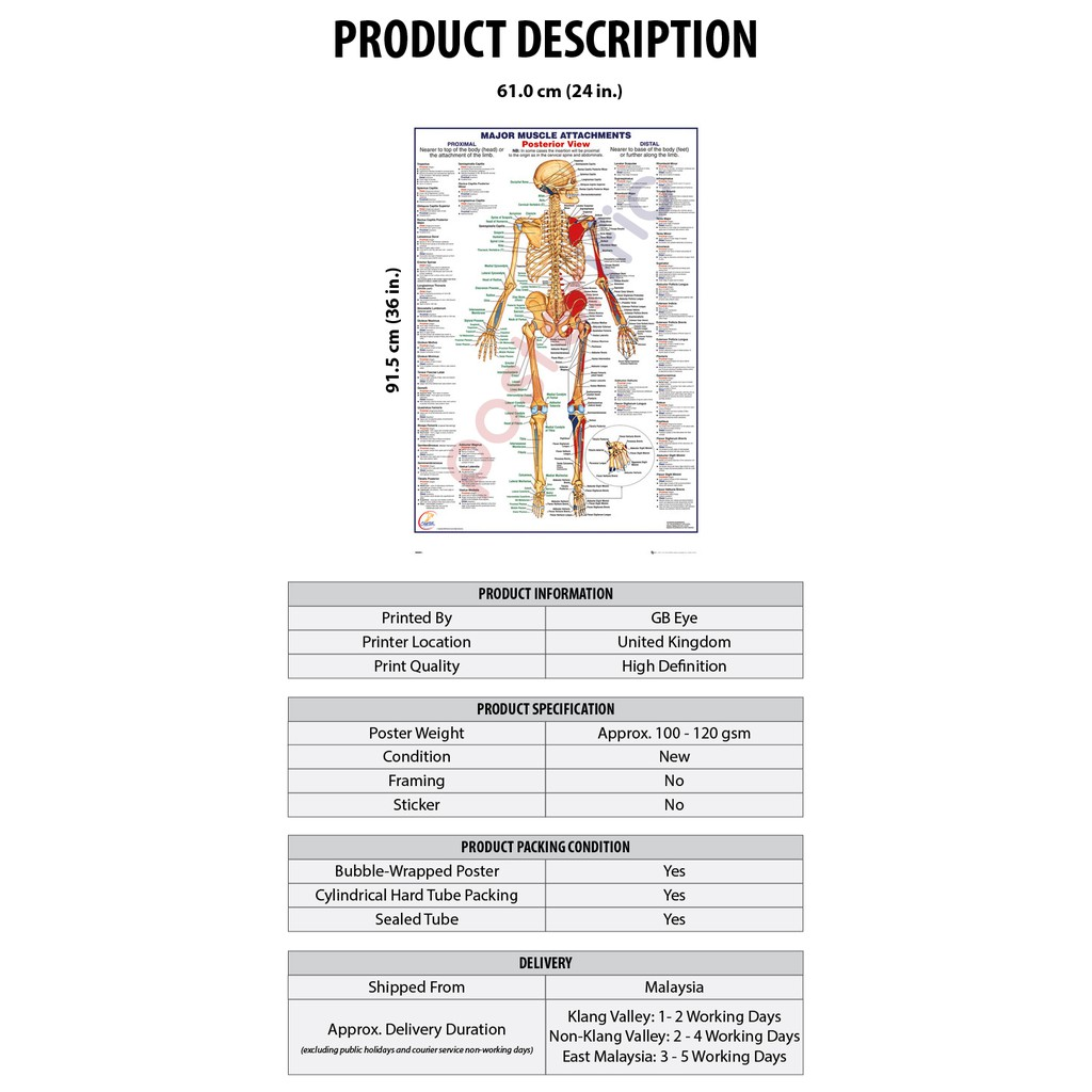 Maxi Poster 61cm x 91.5cm Muscle Attachments Posterior View Human Body