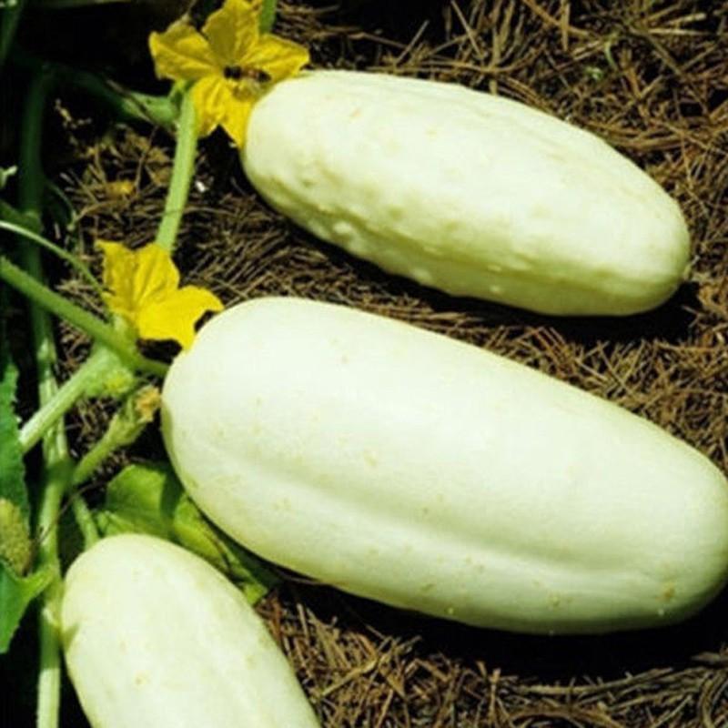 20pcs White Cucumber Seeds Cucumis Sativus Vegetable Fruit Home Garden Plant