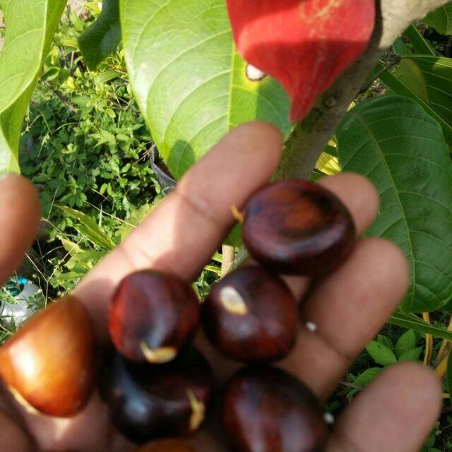 Pokok Berangan Taiwan Chesnut Hybrib