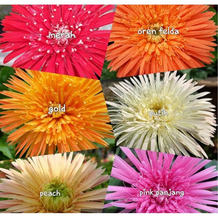 🔥🔥M\'SIA STOCK] 3/set Daisy Flower Lowland -Anak Pokok Bunga Daisy Kampung