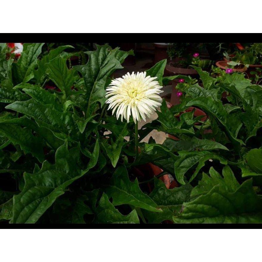 🔥🔥M'SIA STOCK] 3/set Daisy Flower Lowland -Anak Pokok Bunga Daisy Kampung