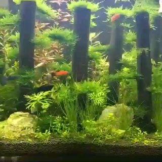 Ready Stock】Benih rumput akuarium - Aquarium Grass Aquatic ...