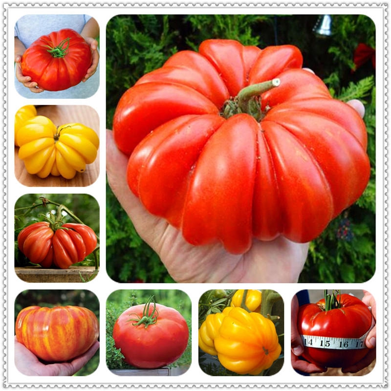 """Tomato /""""Giant Red/"""" 20pcs Russian seeds ."""